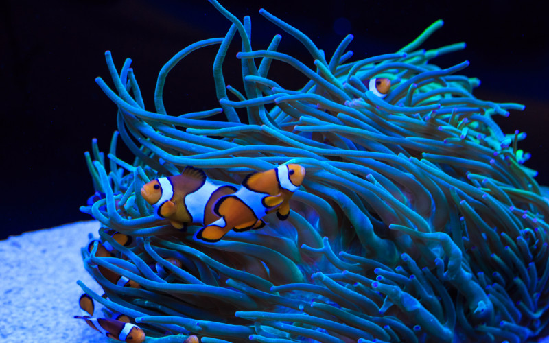 symbiotic relationship of sea anemone and anemone fish