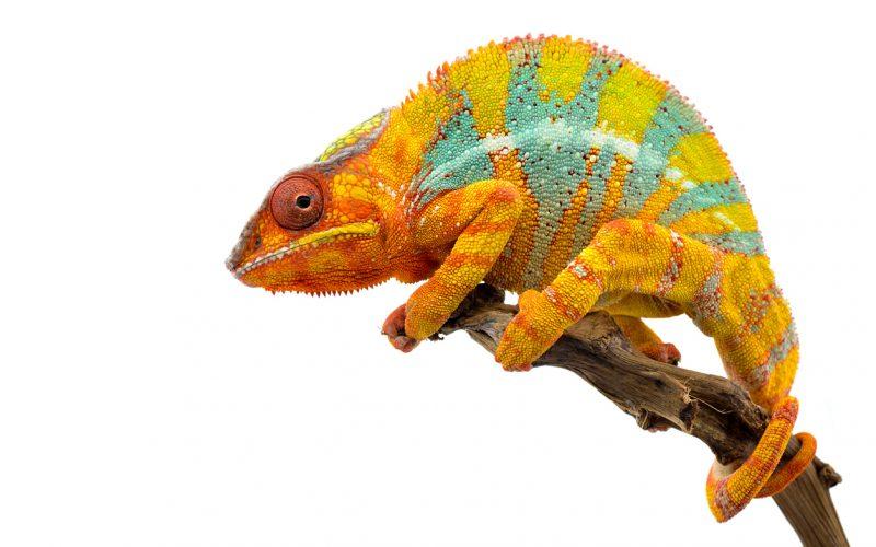 Yellow blue lizard