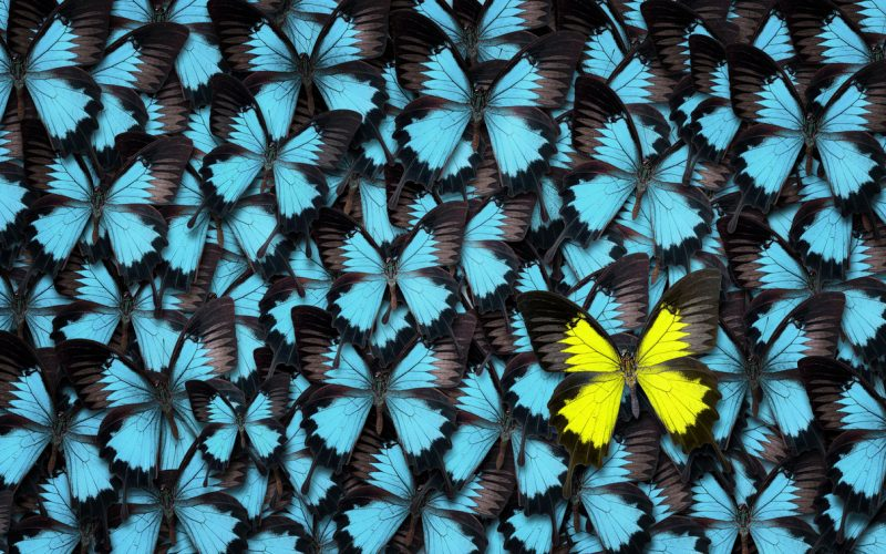 all blue butterflies with one yellow butterfly